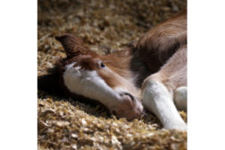 Budweiser Clydesdale Foal