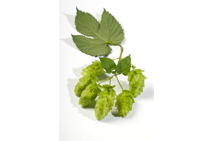 Treatt Hops Feature