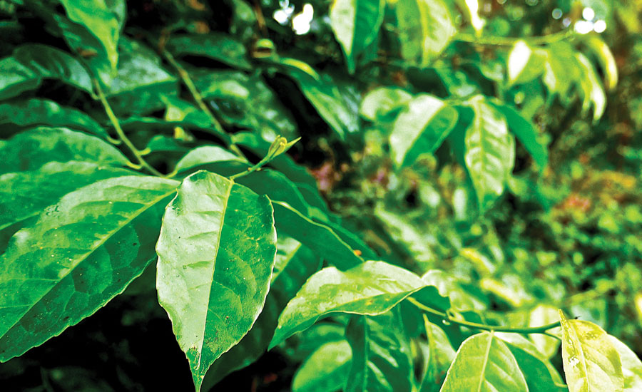 guayusa-leaf-extract-Beverage-Industry.jpg