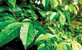 Guayusa leaf extract. - Beverage Industry
